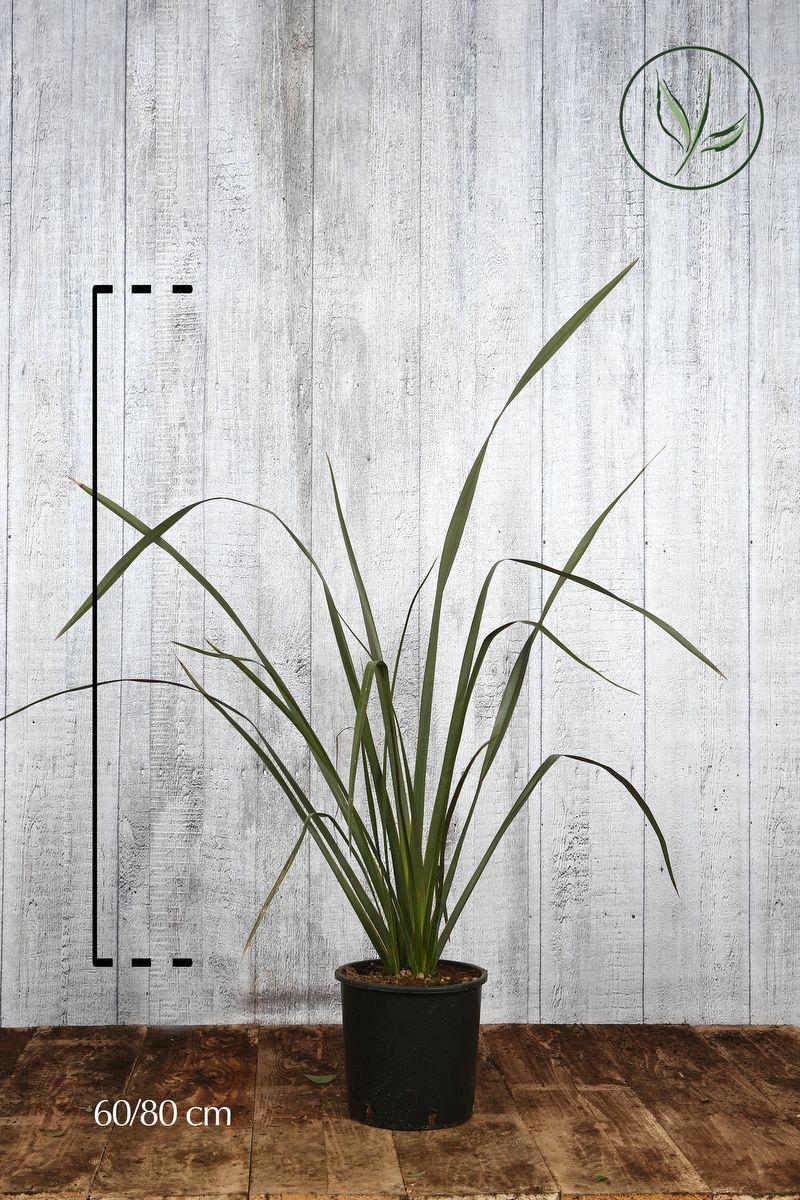 Phormium tenax Contenitore 60-80 cm