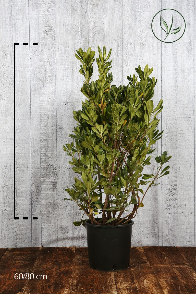 Pitosporo Tobira Contenitore 60-80 cm