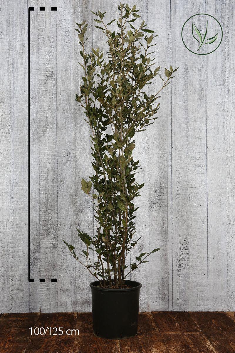 Quercus ilex Contenitore 100-125 cm