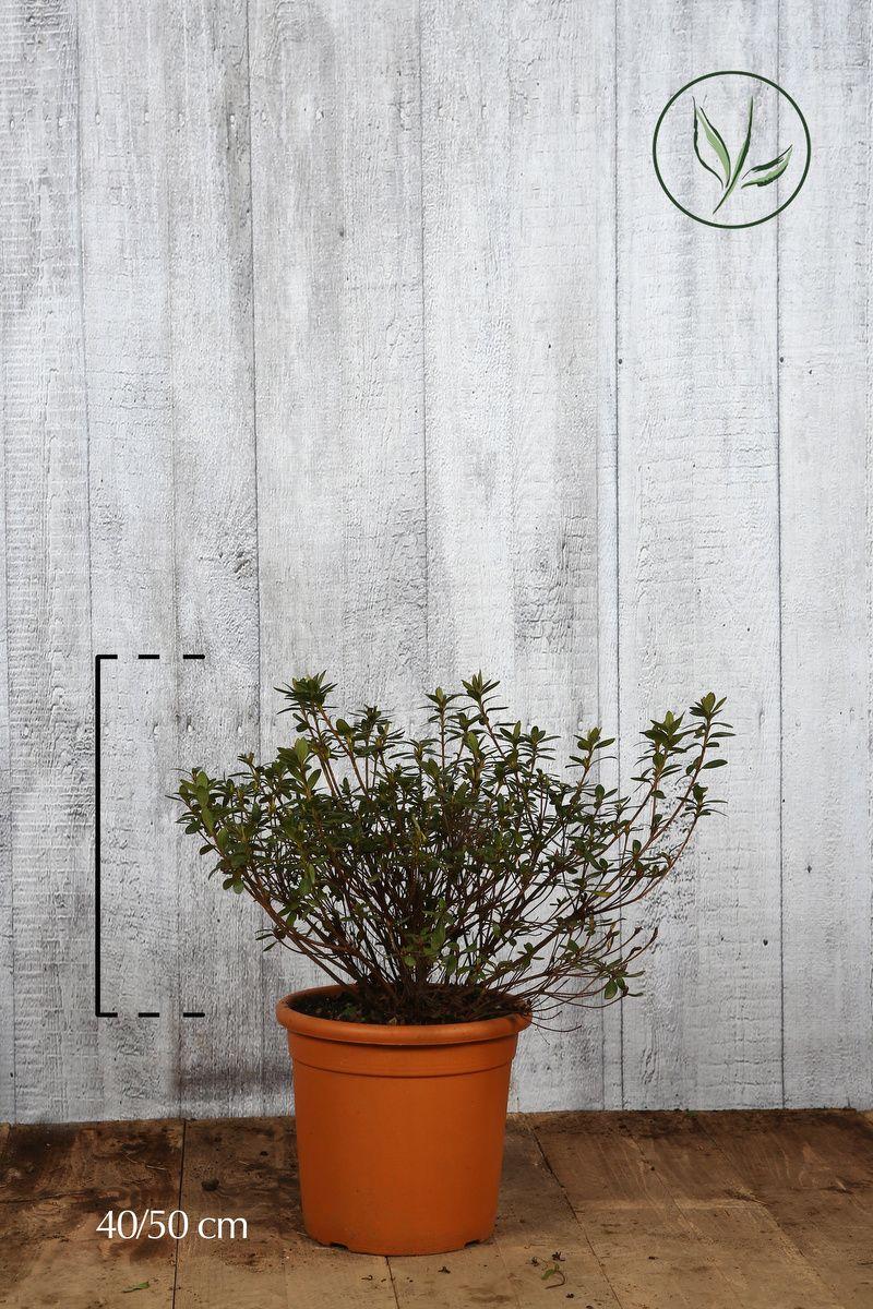 Azalea 'Purple' Contenitore 40-50 cm