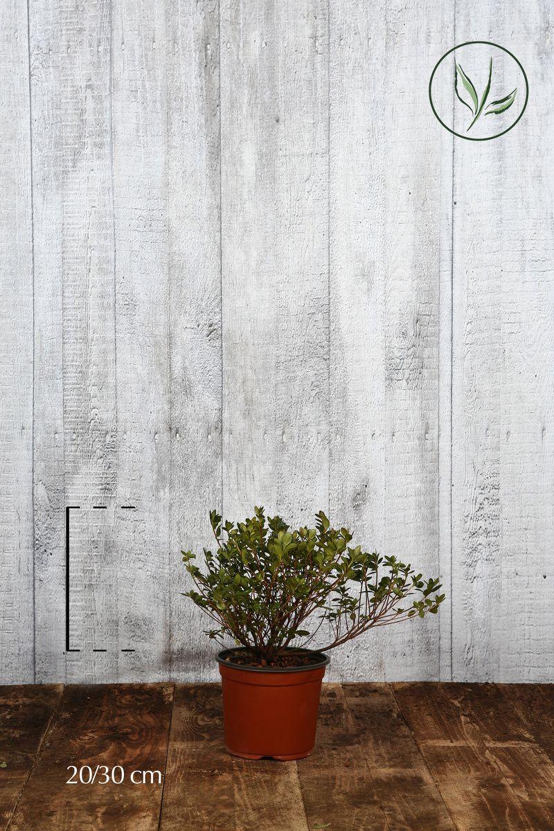 Azalea 'White' Contenitore 20-30 cm