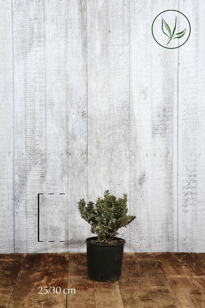Evonimo Pulchellus Argentea Contenitore 25-30 cm