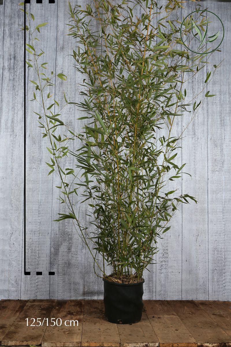 Bambu' Aurea Contenitore 125-150 cm