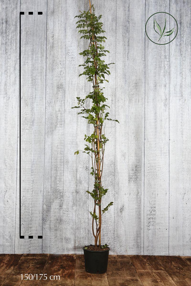 Bignonia capensis Contenitore 150-175 cm