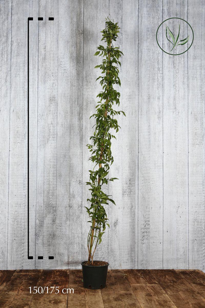Bignonia jasminoides Contenitore 150-175 cm
