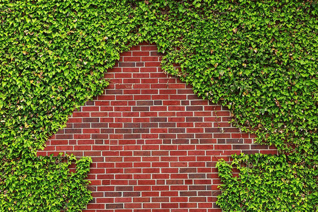 Edera comune Piante tappezzanti stuoia 38 x 57 cm Qualità extra