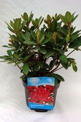 Rododendro 'Red Jack' Contenitore 40-50 cm Qualità extra