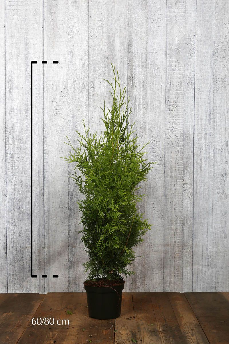 Tuia 'Brabant' Contenitore 60-80 cm