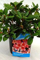 Rododendro 'Virginia Richards' Contenitore 40-50 cm Qualità extra
