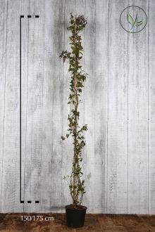 Solano Contenitore 150-175 cm