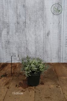Lavanda Comune Contenitore 15-20 cm