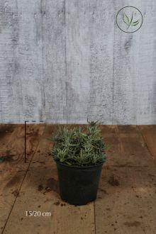 Lavanda Hidcote Contenitore 15-20 cm