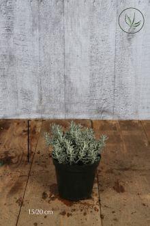 Santolina Contenitore 15-20 cm