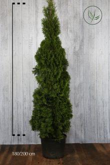 Tuia 'Smaragd' Contenitore 180-200 cm Qualità extra