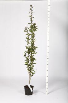 Biancospino Contenitore 60-100 cm