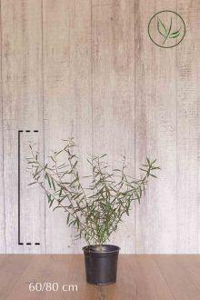 Salice purpurea 'Nana' Contenitore 60-80 cm