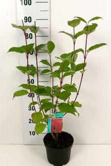 Corniolo alba 'Sibirica' Contenitore 40-60 cm