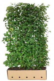 Tiglio selvatico (Tilia cordata) Siepe pronta 200 cm Qualità extra