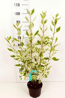 Corniolo alba 'Elegantissima' Contenitore 40-60 cm