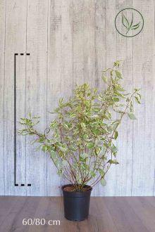 Corniolo alba 'Elegantissima' Contenitore 60-80 cm