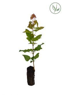 Acero campestre Piante coltivate in contenitori 20-40 cm Qualità extra
