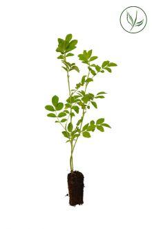 Rosa rugosa Piante coltivate in contenitori 20-40 cm Qualità extra