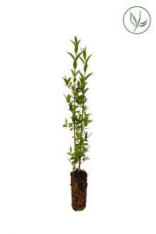 Ligustro comune Piante coltivate in contenitori 15-30 cm Qualità extra