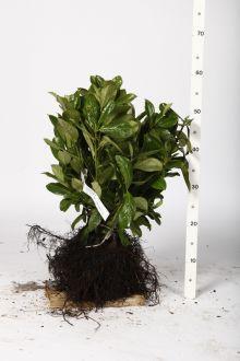 Lauroceraso 'Etna' Radice nuda 25-30 cm