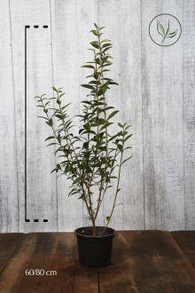 Ligustro comune Contenitore 60-80 cm