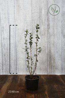 Ligustro comune 'Atrovirens' Contenitore 20-40 cm