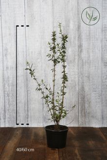 Ligustro comune 'Atrovirens' Contenitore 40-60 cm