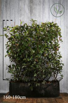 Fotinia 'Red Robin' Siepe pronta 160-180 cm Siepe-pronta