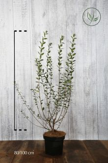 Ligustro comune 'Atrovirens' Contenitore 80-100 cm Qualità extra