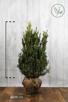Bosso - Arbusti Zolla 60-80 cm