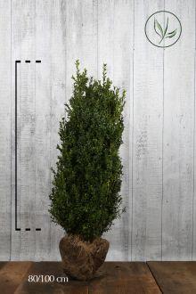 Bosso - Arbusti Zolla 80-100 cm Qualità extra
