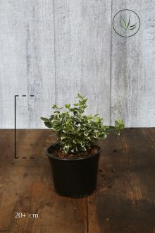 Evonimo 'Emerald 'n Gaiety' Contenitore 20+ cm