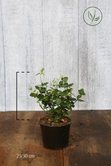 Evonimo sempreverde 'Vegetus' Contenitore 25-30 cm