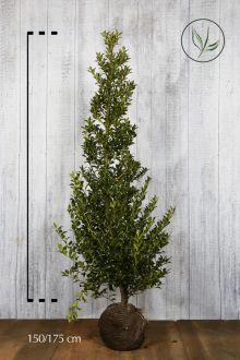 Agrifoglio 'Alaska' Zolla 150-175 cm Qualità extra