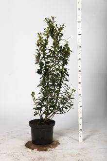 Agrifoglio 'Heckenpracht' Contenitore 80-100 cm Qualità extra