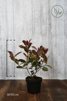 Fotinia 'Red Robin' Contenitore 30-50 cm