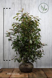 Fotinia 'Red Robin' Zolla 100-125 cm