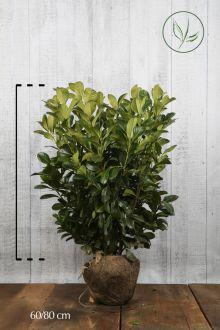 Lauroceraso 'Etna' Zolla 60-80 cm Qualità extra