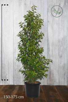 Lauro del Portogallo Contenitore 150-175 cm Qualità extra