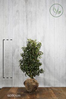 Lauro del Portogallo Zolla 60-80 cm Qualità extra