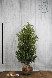 Lauro del Portogallo Zolla 100-125 cm