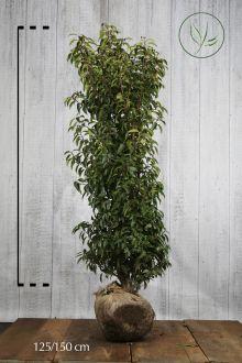 Lauro del Portogallo Zolla 125-150 cm Qualità extra