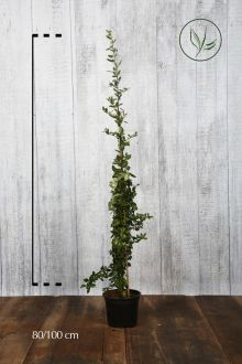 Piracanta 'Red Column' Contenitore 60-80 cm