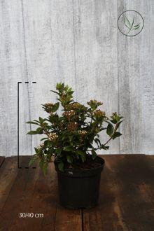 Viburno o Lentaggine Contenitore 30-40 cm