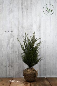 Tasso comune Zolla 60-80 cm Qualità extra