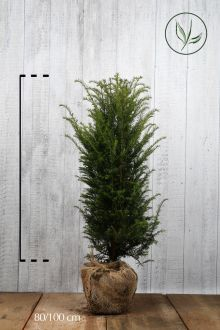Tasso comune Zolla 80-100 cm Qualità extra